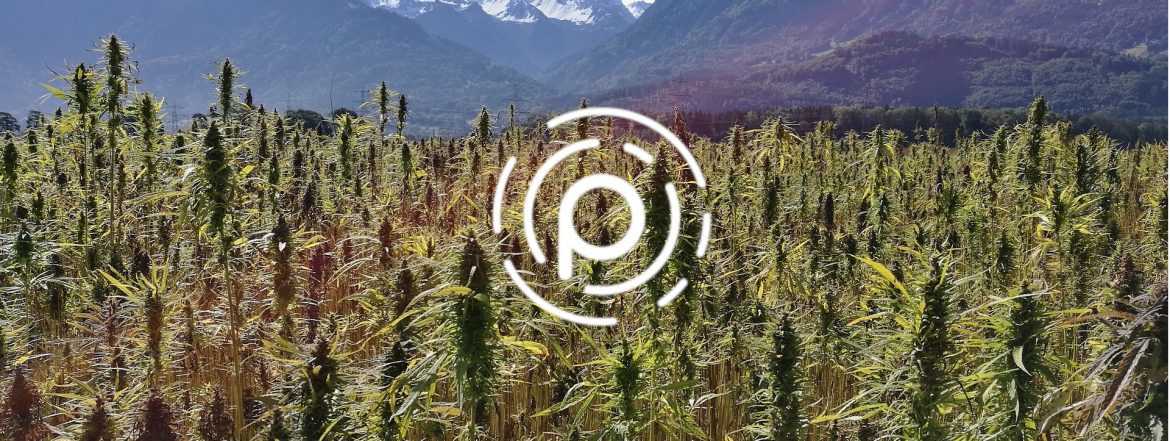 Pebble Global Holdings logo on top of a photo of cannabis plants.